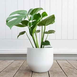 Monstera in Pure White Pot