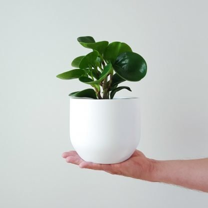 Peperomia Obustifolia in White