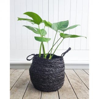 Monstera in Basket, Split Leaf Philodendron in Basket