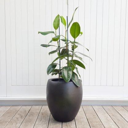 Rubber Tree in Black Tall Pot