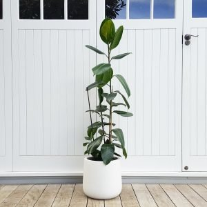 Tall Green Rubber Tree in Bianca Pot
