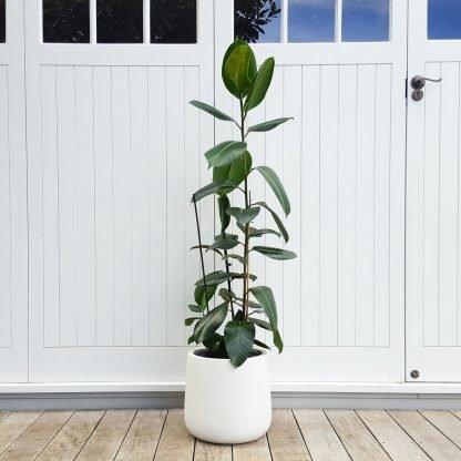 Tall Green Rubber Tree in Bianca Pot