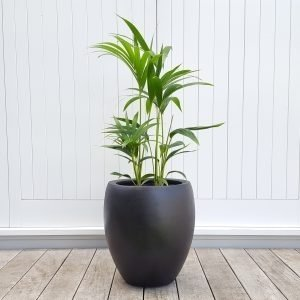 Kentia Palm in Tall Black Pot