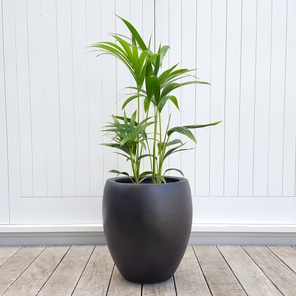 Kentia Palm in Tall Black Pot