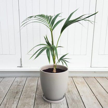 Kentia Palm in Grey Ceramic 26cm