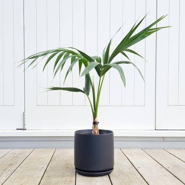 Tabletop Kentia Palm in Black Oslo Pot 18cm