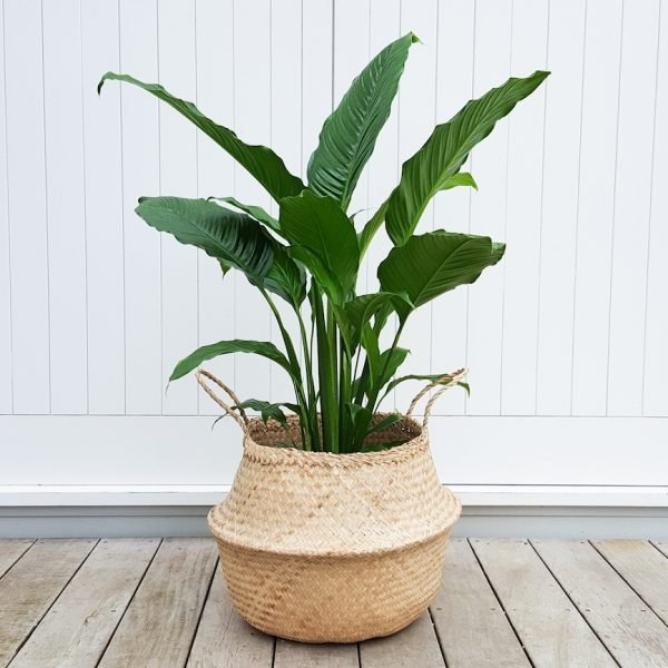 Peace Lily XXL in Seagrass Belly Basket