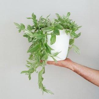 Gigi Tradescantia in Lightweight White Pot