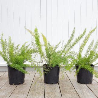 Foxtail Fern (aka Asparagus Myerii), 20cm pots