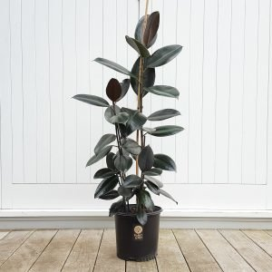 Tall Rubber Tree