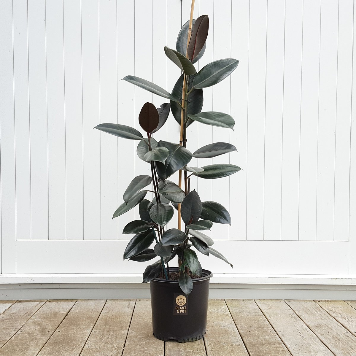 Tall Rubber Tree Black Knight Plantandpot Nz