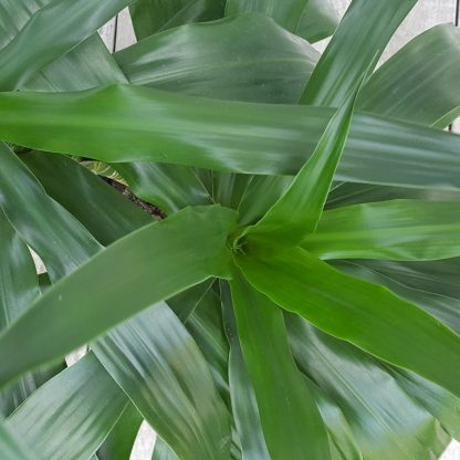 Foliage Close Up Dracaena Janet Craig