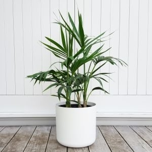 Kentia Palm in White Pot