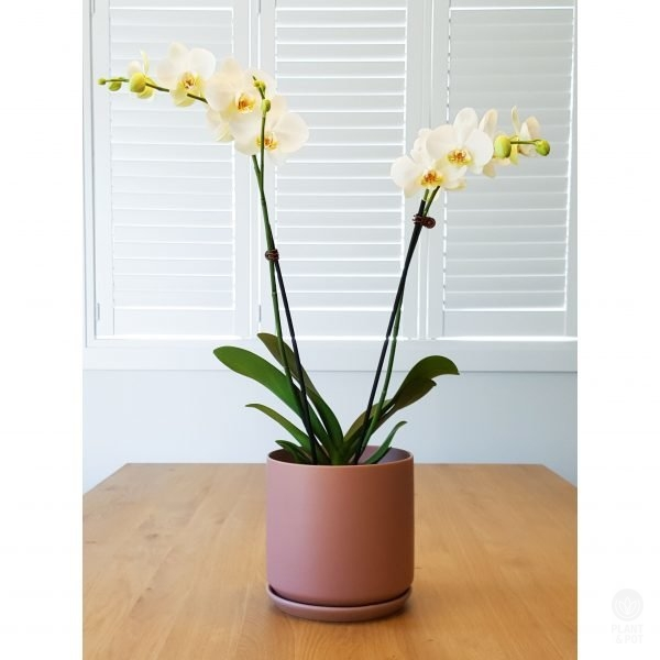 White Orchids in Dusty Rose Oslo Pot