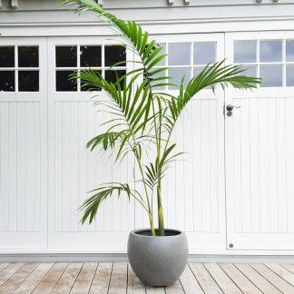 Big Bangalow Palm in Grey Pot