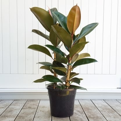 Ficus Robusta, The Classic Rubber Tree