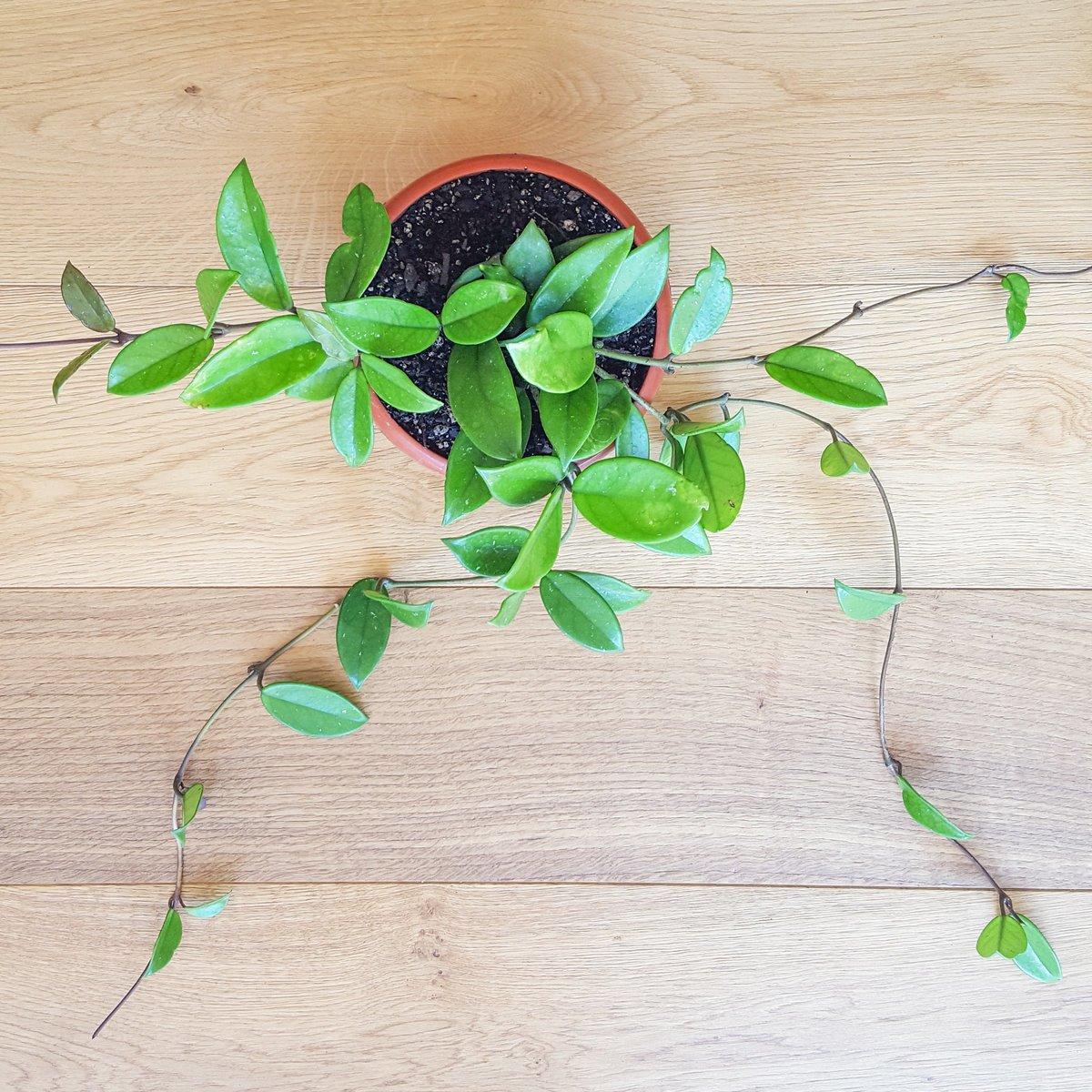 Hoya Exotic Plant Trailing Vine Plantandpotnz