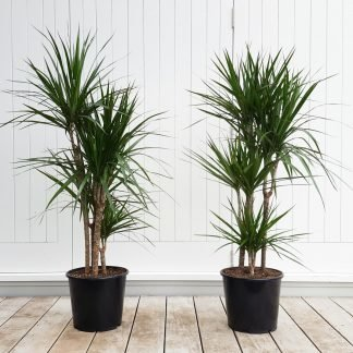 Dracaena Marginata, Tall Indoor Plant