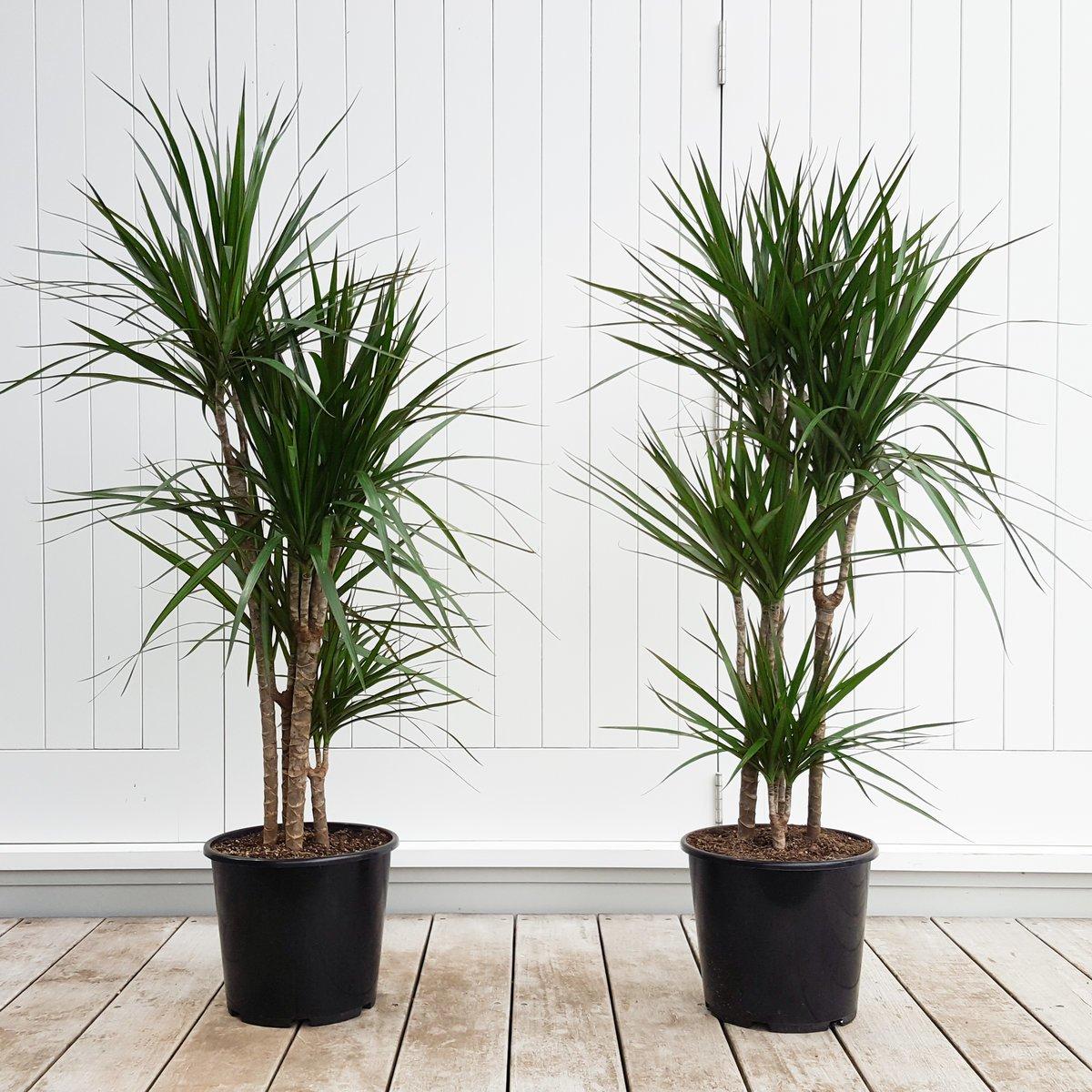 Dracaena Marginata Tall Indoor Plant