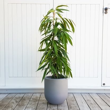 Tall Long Leaf Fig in Allure Pot
