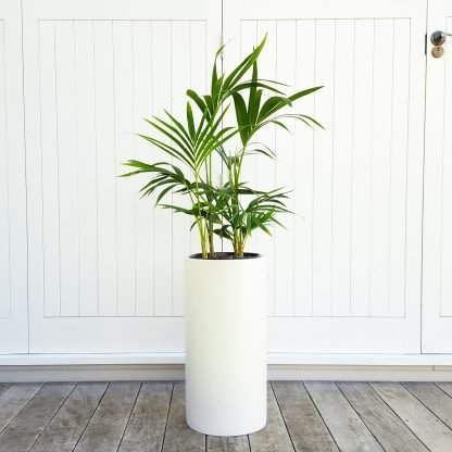 Kentia Palm in Tall White Pot (Pillar)
