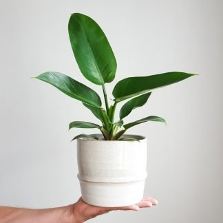 Philodendron Emerald Green in Akiko Plant Pot large