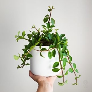 Peperomia Angulata in Pure White Pot 16cm