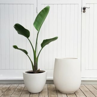 Giant Bird of Paradise in White Plant Pots