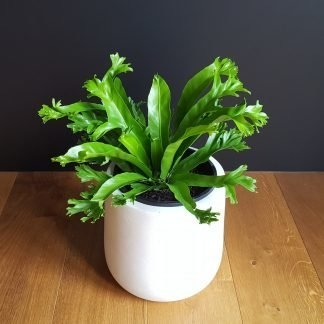 Crissie Fern in White Bianca Pot