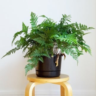 Davallia Fern, Rabbits Foot Fern