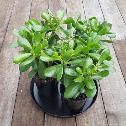 Jade Plant Pots x 3