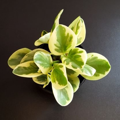 Peperomia Magnoliafolia variegated leaves