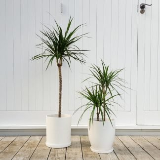 Dracaena Marginata in White Pots