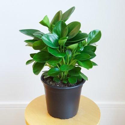 Peperomia Obtusifolia 14cm pot