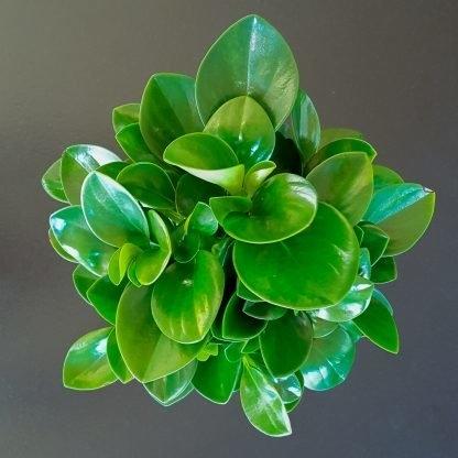 Peperomia Green 14cm pot
