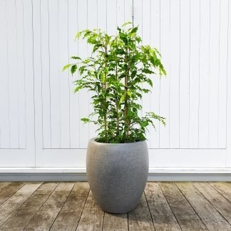 Ficus Golden Monique in Tall Grey Pot