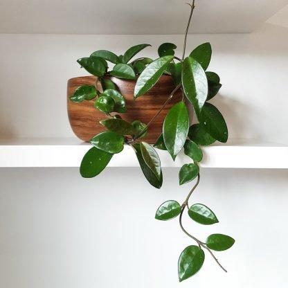 Hoya Carnosa Shelfie
