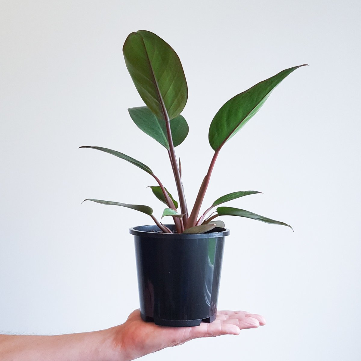 Philodendron Red Congo Plant And Pot Nz