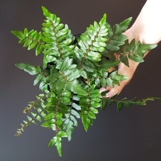 Sickle Fern 12cm pot