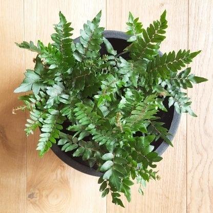 Sickle Fern (3 plants)