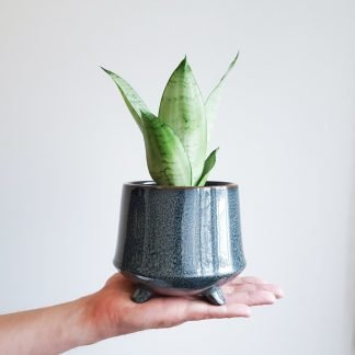 Snake Plant in Kiku Pot