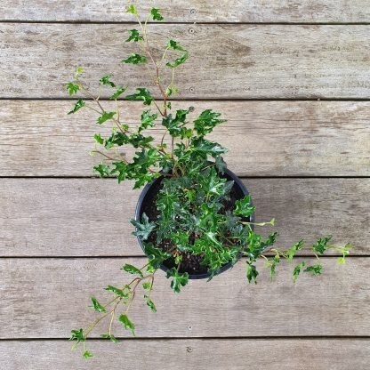 Ivy Hedera Basket (Trailing Length)