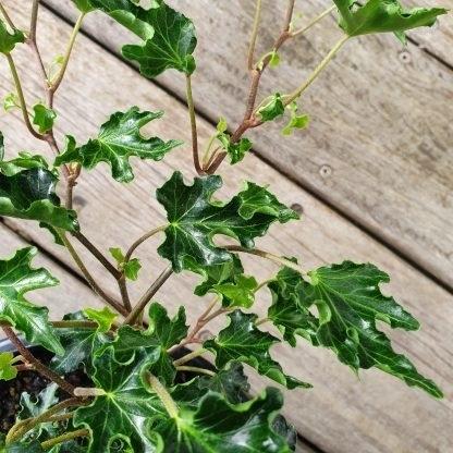 Ivy Hedera Foliage Close Up