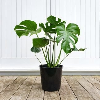 Monstera large grade 25cm pot