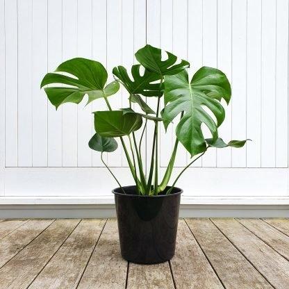 Monstera large grade 25cm pot