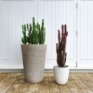 Red Cathedral Cactus in White Ceramic Pot