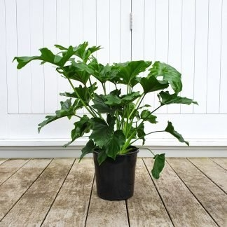 Philodendron Selloum Hope large grade