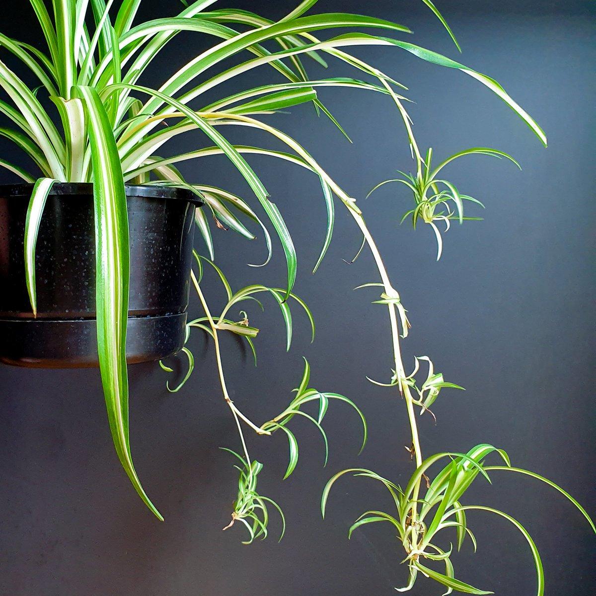 Spider Plant Variegated Chlorophytum Indoor Plant Plantandpot Nz