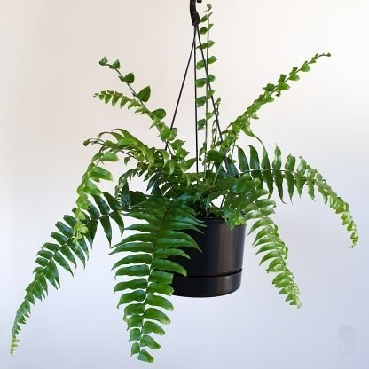 Nephrolepsis Macho is a variety of Boston Fern
