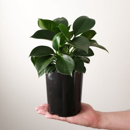 Philodendron Green Princess 15cm pot